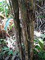Antidesma platyphyllum var. platyphyllum (5210278282).jpg