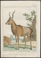 Antilope kudu - 1700-1880 - Print - Iconographia Zoologica - Special Collections University of Amsterdam - UBA01 IZ21400145.tif