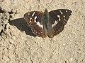 Apatura ilia - Lesser purple emperor - Переливница малая (26270200317).jpg