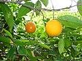 Apfelsinenbaum-Orange tree.jpg