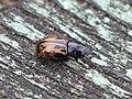 Aphodius distinctus 01.JPG