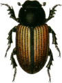 Aphodius merdarius Jacobson.png