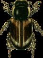 Aphodius punctatosulcatus Jacobson.png