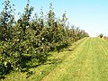 Apple Orchard, near Horsmonden - geograph.org.uk - 71004.jpg