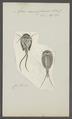 Apus cancriformis - - Print - Iconographia Zoologica - Special Collections University of Amsterdam - UBAINV0274 099 04 0004.tif