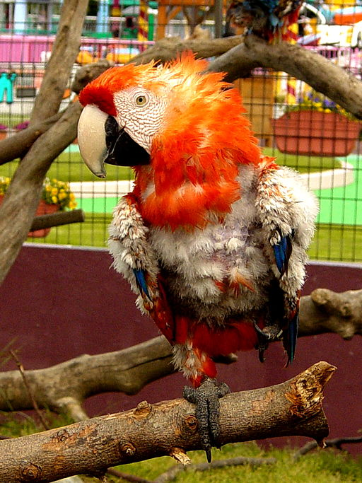Feather plucking in macaw parrot