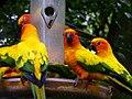 Aratinga solstitialis -Jurong Bird Park-8d.jpg