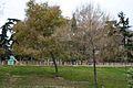 Arbol Mimosa (1) (11983502183).jpg