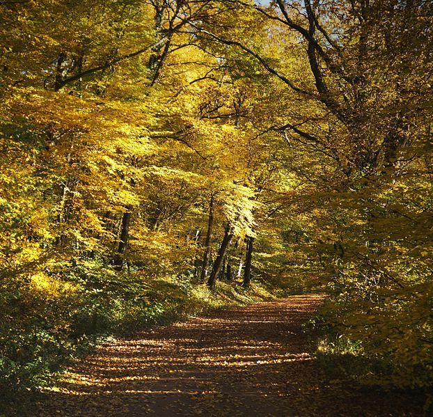 Fichier:Arbres de la Futaie de Colbert en Forêt de Tronçais (03).jpg