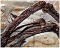 Archaeopteryx cortical delamination.png
