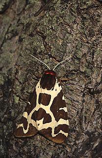 Garden tiger moth Species of moth