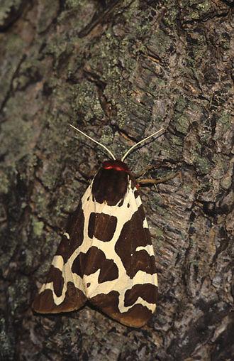 Garden tiger moth - Resting pose