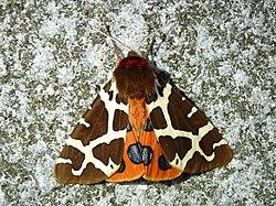 HABLA TERCIANA Mariposa Nocturna Volata