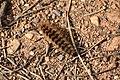 Arctia villica - Chenille 01.jpg