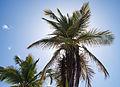 Arecaceae.jpg