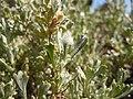 Artemisia arbuscula 002 — Matt Lavin.jpg
