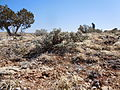 Artemisia bigelovii — Matt Lavin 013.jpg