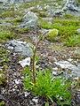 Artemisia norvegica.jpg