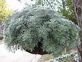 Artemisia schmidtiana1.jpg