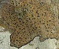 Arthonia interveniens - Flickr - pellaea.jpg