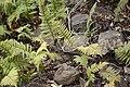 Arthropteris orientalis Cilaos 2.jpg