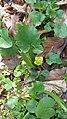 Asarum europeum, Aristolochiaceae 01.jpg