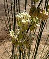 Asclepias subulata kz4.jpg