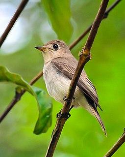 Asian brown flycatcher Species of bird of the genus Muscicapidae