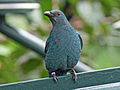 Asian Fairy-bluebird female SMTC.jpg
