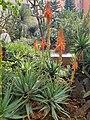 Asparagales - Aloe ferox - 7.jpg
