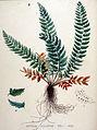 Aspidium aculeatum — Flora Batava — Volume v19.jpg