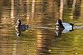 At Isobel lake…a pair of Lesser Scaups (8728259798).jpg