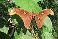 Attacus atlas - Atlas moth - at Peravoor (8).jpg
