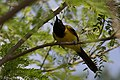 Audubon's Oriole National Butterfly Center Mission TX 2018-03-04 15-13-37 (40681536751).jpg