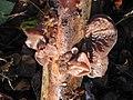 Auricularia auricula-judae JPG.jpg