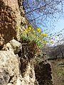 Aurinia saxatilis sl5.jpg