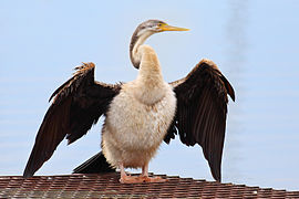 Australasian-Darter-female.jpg