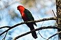 Australian King-Parrot NSW.jpg