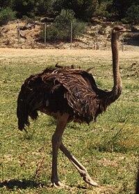 Autruche male, réserve africaine de Sigean