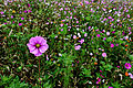 Autumn-flower-field-tall-pink-flower - Virginia - ForestWander.jpg