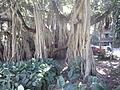 BCBG Ficus Benghalensis 01.JPG