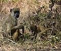 Baboon, Ruaha National Park (2) (28106607394).jpg