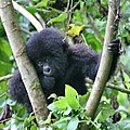 Baby Gorilla at Volcanoes National Park, Rwanda (36204827940).jpg