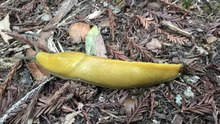 File:Banana slug motion in hyperlapse.webm