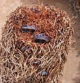 Banksia epica purp foll email.jpg