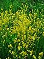 Barbarea vulgaris 001.JPG