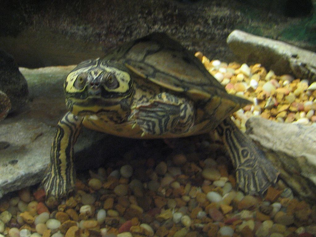 false map turtle filebarbours map turtlejpg wikimedia commons