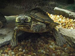 Barbour's Map Turtle.jpg