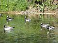 Barnacle geese.jpg