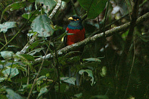 Bar-tailed trogon - Image: Bartailedtrogon
